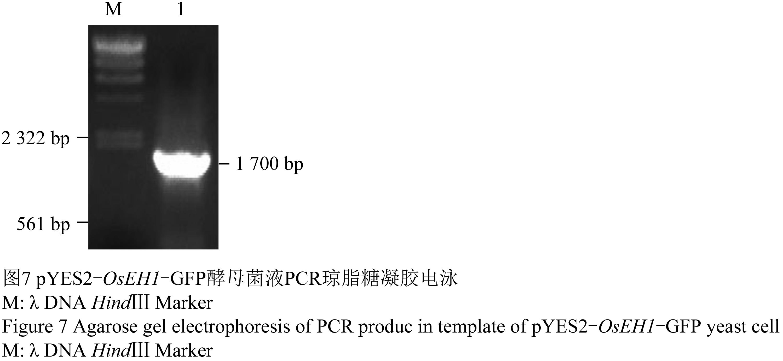 gfp酵母菌液pcr琼脂糖凝胶电泳