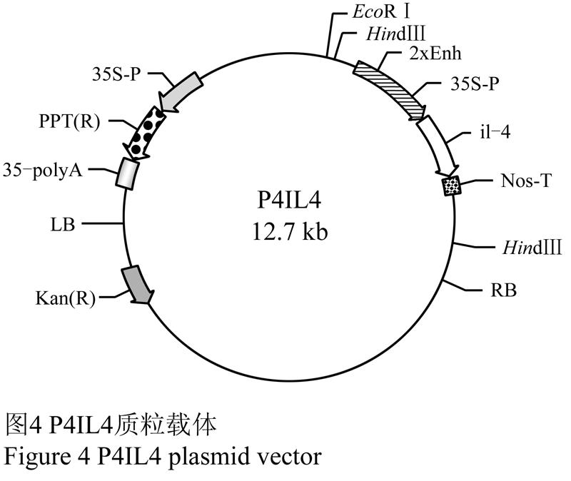 根据、两个处理花柱与子房组织切片免疫组化显色后所观察到的现象,推断P4IL4质粒-探针杂交体导入番茄的大致途径为转化后约10 h通过花柱引导组织进入子房,转化后12~38 h,P4IL4质粒-探针杂交体经过中轴胎座、胚珠珠柄到达胚囊。 1.2 P4IL4质粒-探针杂交体的移动速度 在番茄人工授粉24 h后用锋利刀片切除柱头,滴加P4IL4质粒-探针杂交体(处理)。转化后约30 min,取材,固定,制作石蜡切片,免疫组化显色后在光镜下观察,P4IL4质粒-探针杂交体在3个花柱材料中移动距离分别是721.