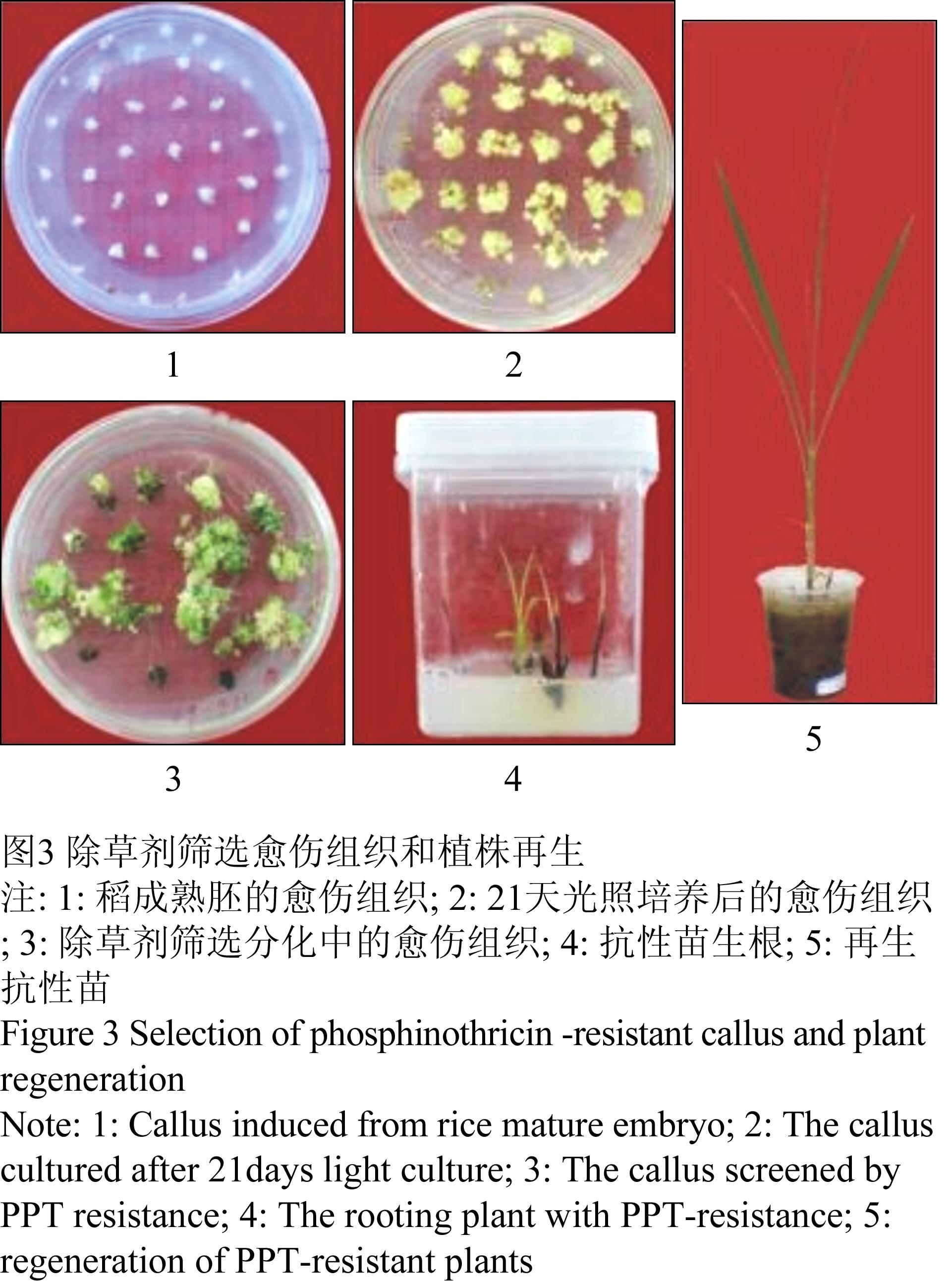 3水稻抗性植株的gus组织化学染色和基因组pcr检测