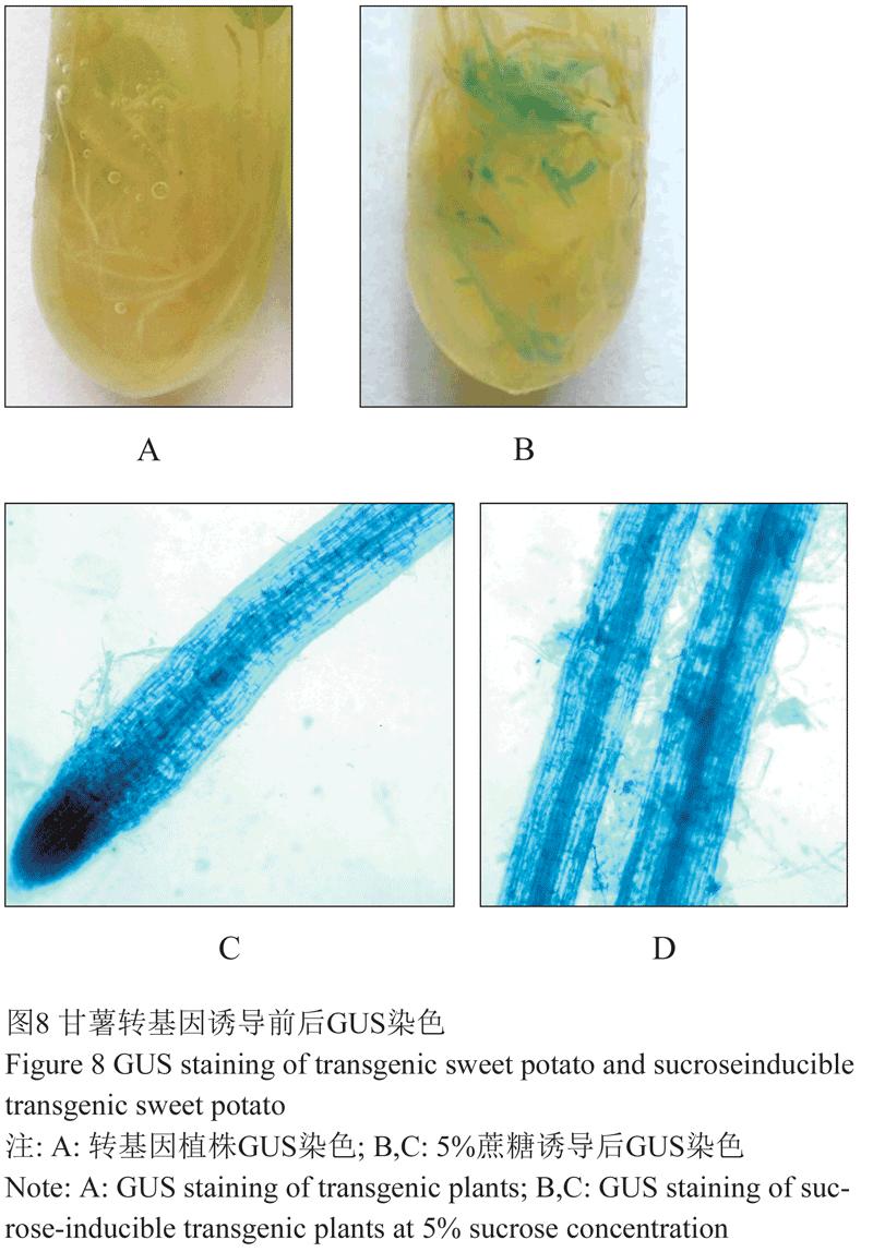 酶连接,转入感受态细胞JM109中。挑取阳性克隆,提取质粒DNA,利用Hind及BamH双酶切验证pBI-SpoA-p::GUS连接成功与否。采用根癌农杆菌EHA105构建工程菌株EHA105:pBI-SpoA-p::GUS。 3.3遗传转化 A烟草:取健壮烟草无菌苗的幼嫩叶片,去主脉,将叶片剪成0.5 cm2的小块。用农杆菌(EHA105:pBISpoA-p::GUS)感染后共培养3 d;移至含选择压卡那霉素(Kana, 购自北京天根生化科技有限公司)的分化培养基上分化出芽;在MS培养基上生根再生出完